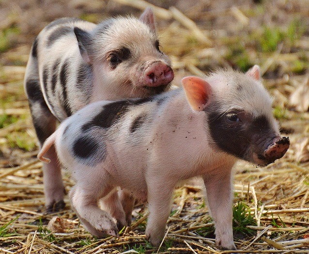 20 Of The Cutest Pig Pictures