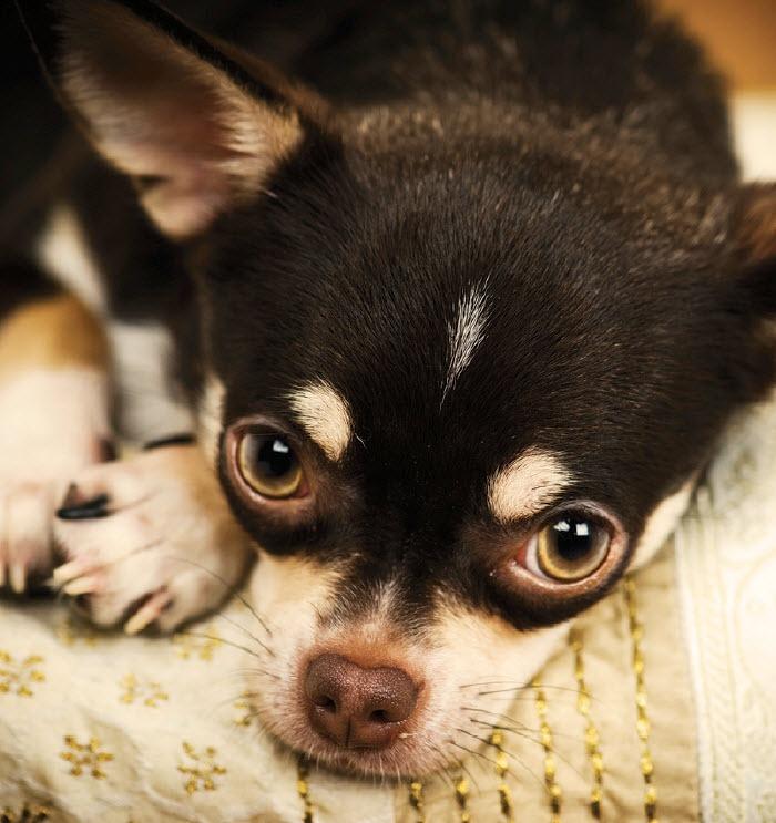 11 Chihuahuas That Are So Stinkn' Cute