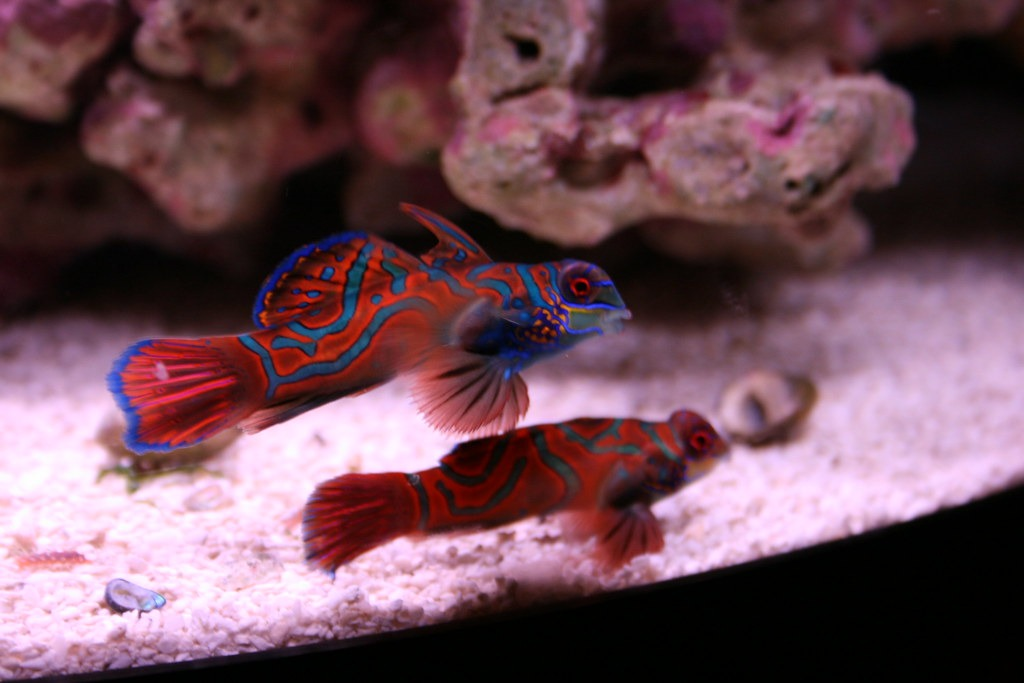 Cool Facts About Dragonet