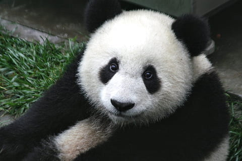 13 Of The Most Interesting Facts About Pandas 1446606851