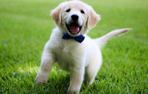 The CUTEST Golden Retriever Puppies You#8217;ve EVER Seen! 1854195707