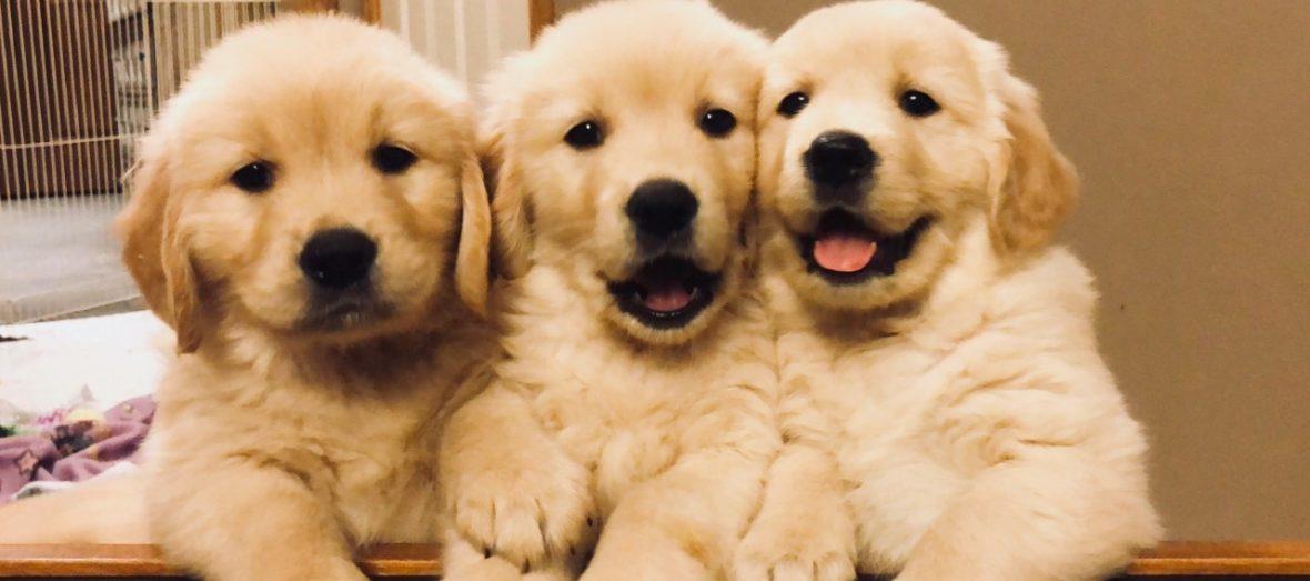 The CUTEST Golden Retriever Puppies You#8217;ve EVER Seen! 945998447
