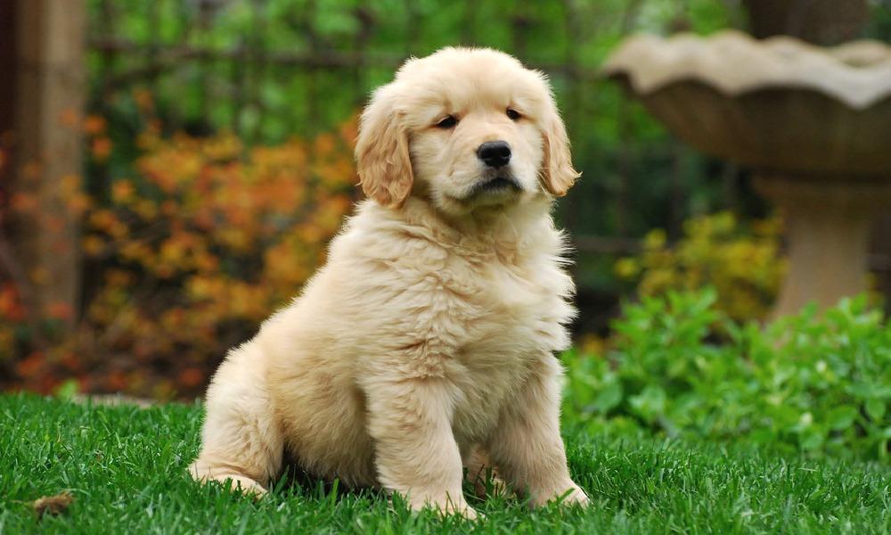 The CUTEST Golden Retriever Puppies You#8217;ve EVER Seen! 1003631817