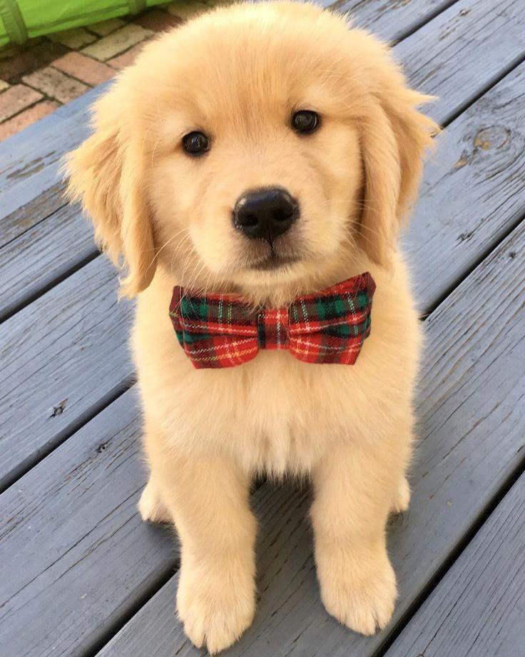 The CUTEST Golden Retriever Puppies You#8217;ve EVER Seen! 1039531400