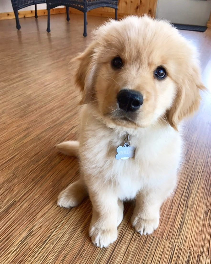 The CUTEST Golden Retriever Puppies You#8217;ve EVER Seen! 1705402423