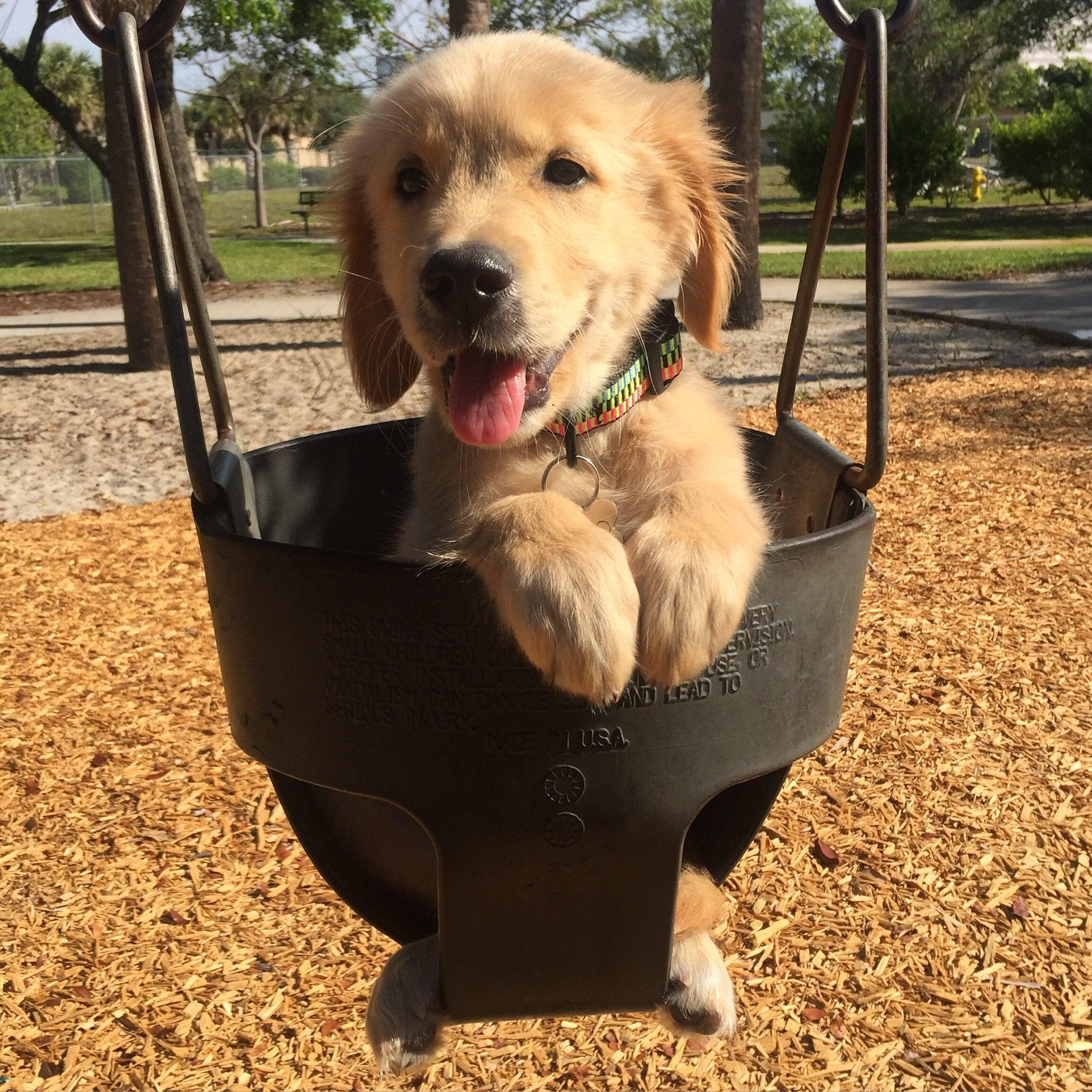 The CUTEST Golden Retriever Puppies You#8217;ve EVER Seen! 2105784417