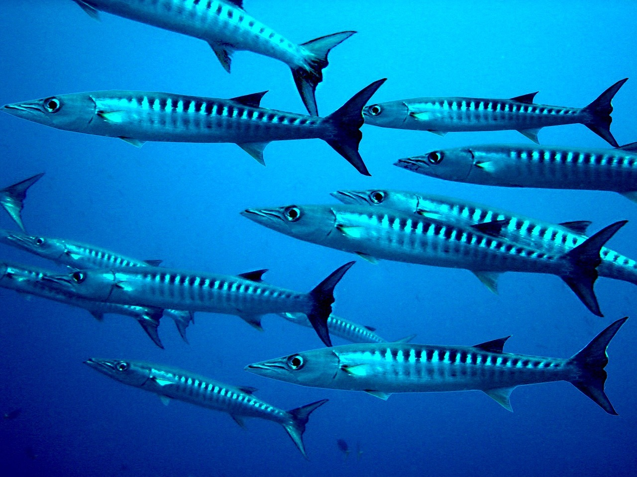 11 Of The Best Barracuda Pictures