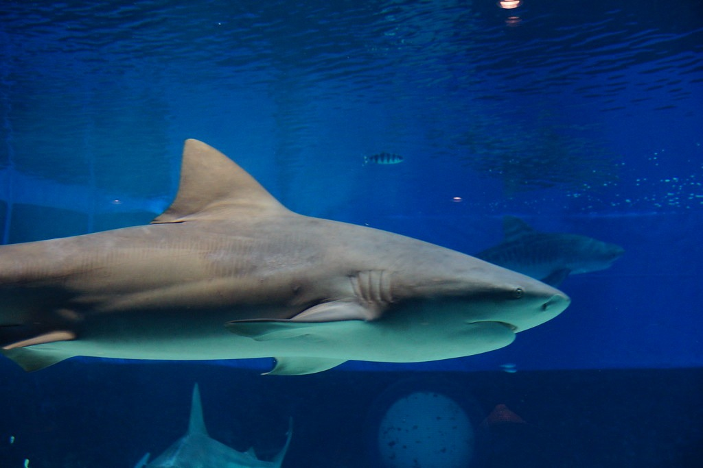 Cool Facts About Bull Shark