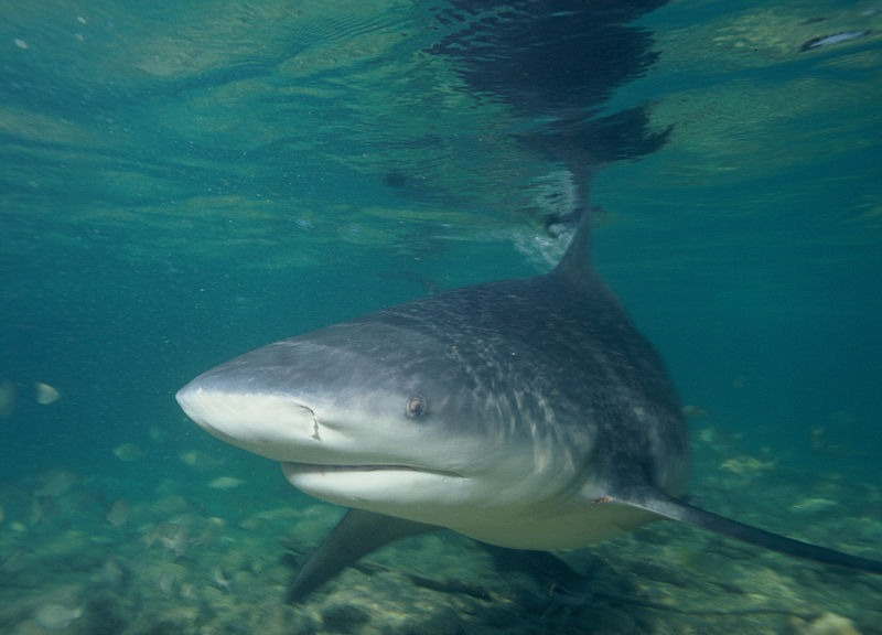 10 Of The Most Amazing Bull Shark Pictures