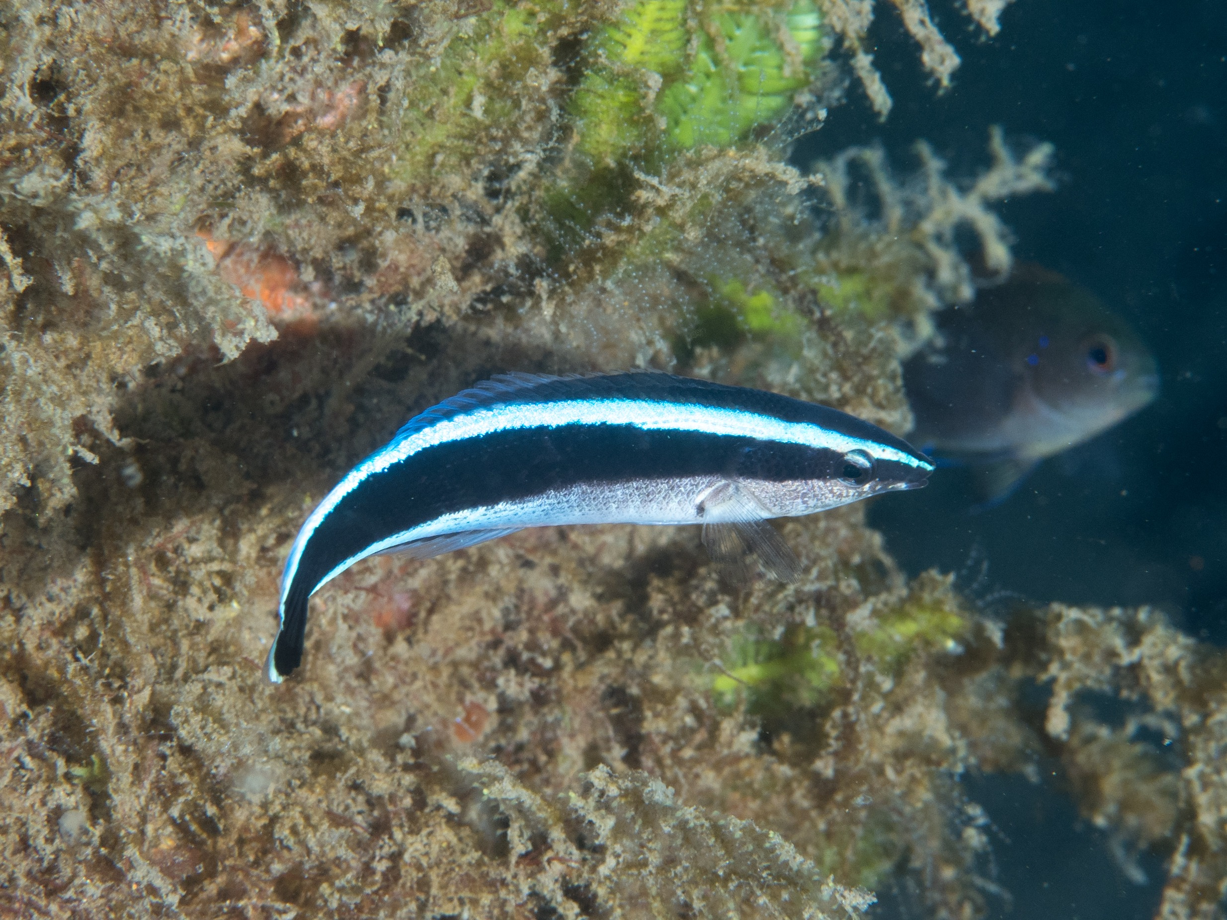 11 Of The Best Pictures Of Cleaner Wrasse 1411097062