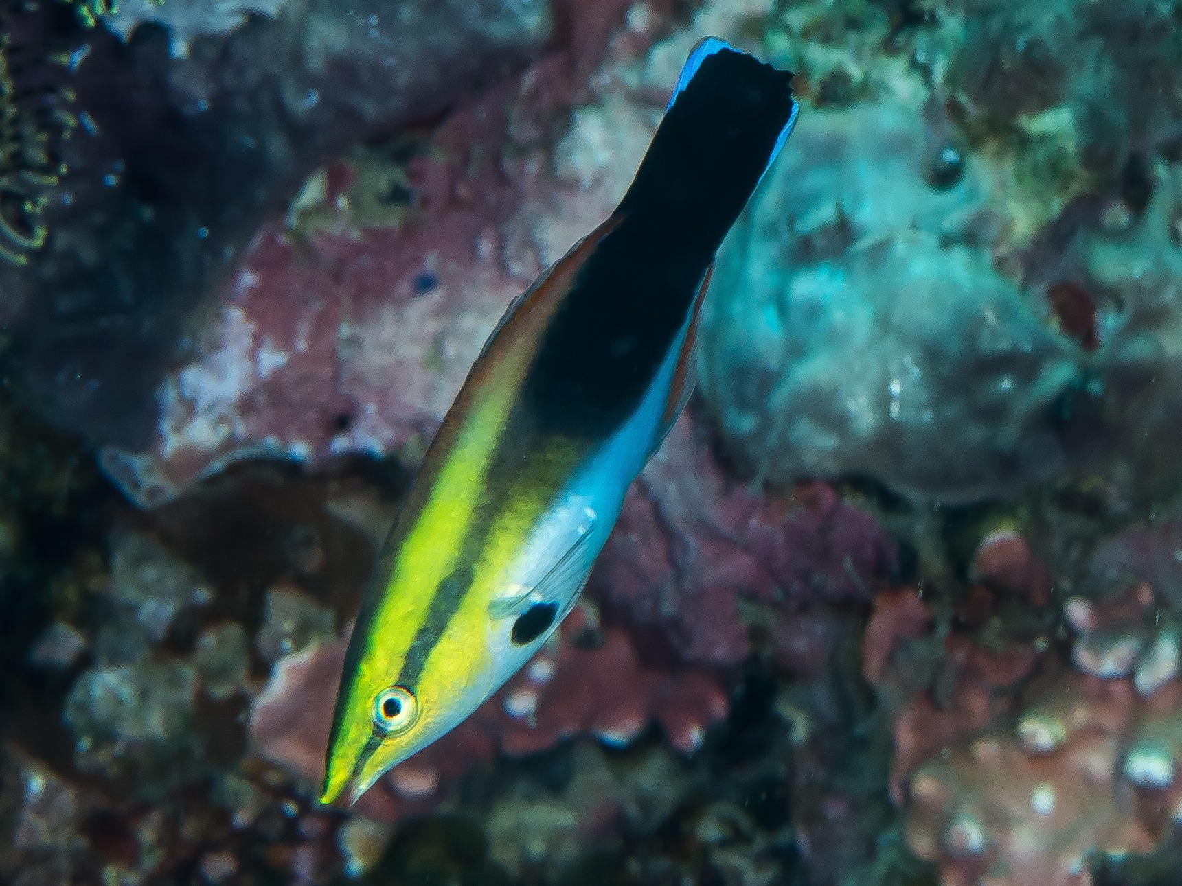 11 Of The Best Pictures Of Cleaner Wrasse 1376074527