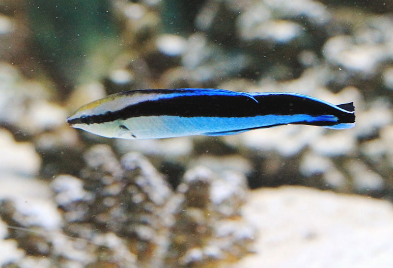 11 Of The Best Pictures Of Cleaner Wrasse 440138643