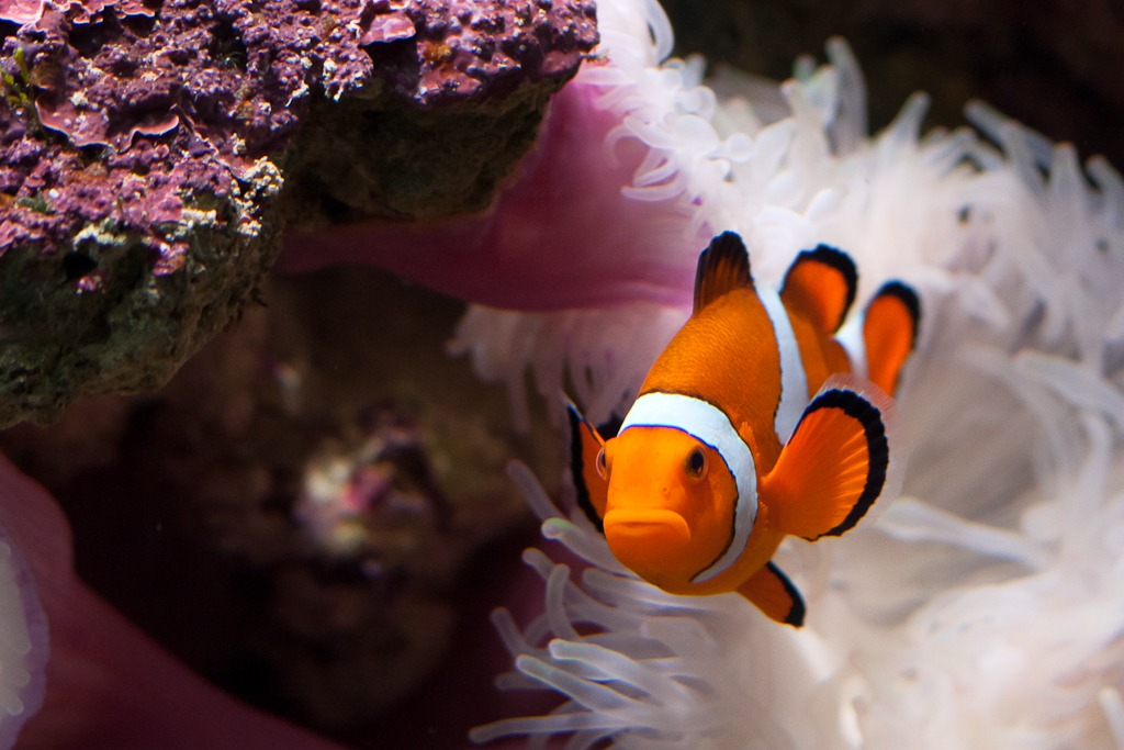 13 Awesome Clown Fish Pictures