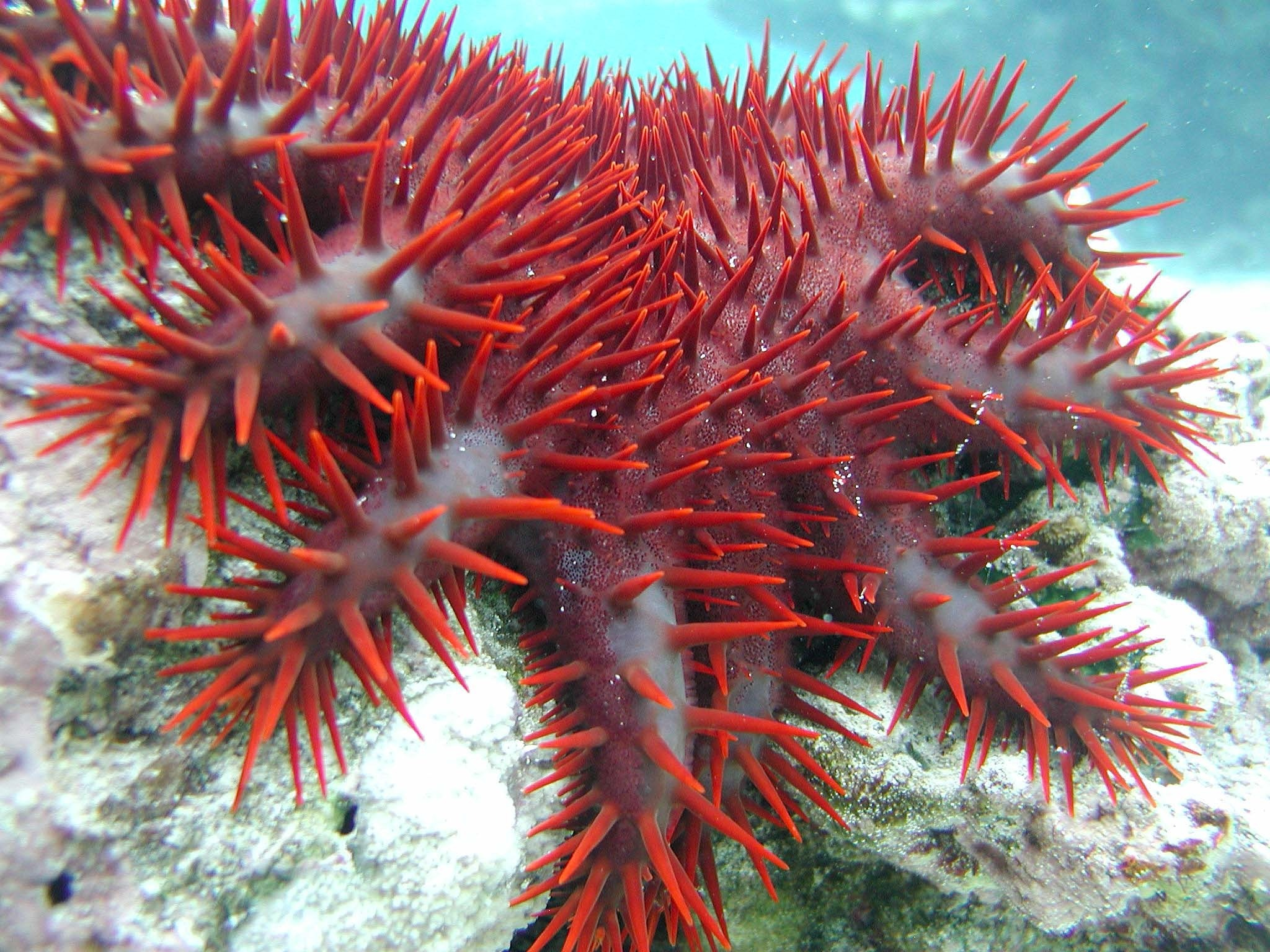 10 Of The Coolest Crown-of-thorns starfish Pictures