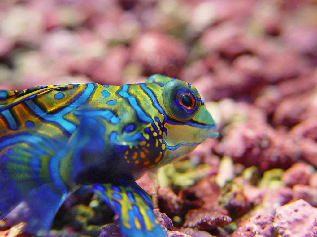 10 Of The Best Dragonet Pictures 1429491669