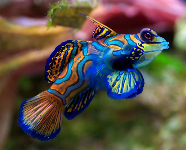 10 Of The Best Dragonet Pictures 758795412