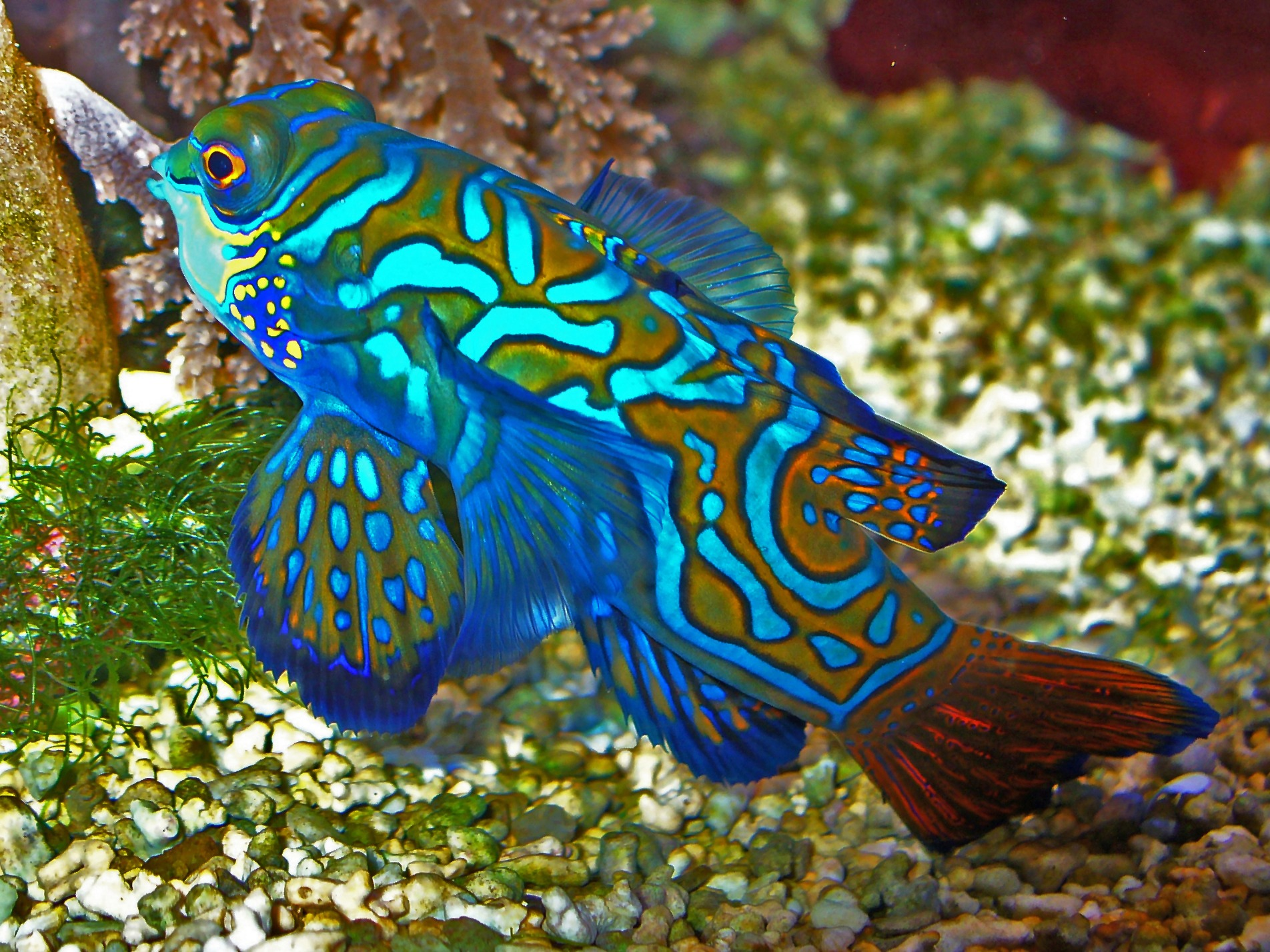 10 Of The Best Dragonet Pictures 1380934937