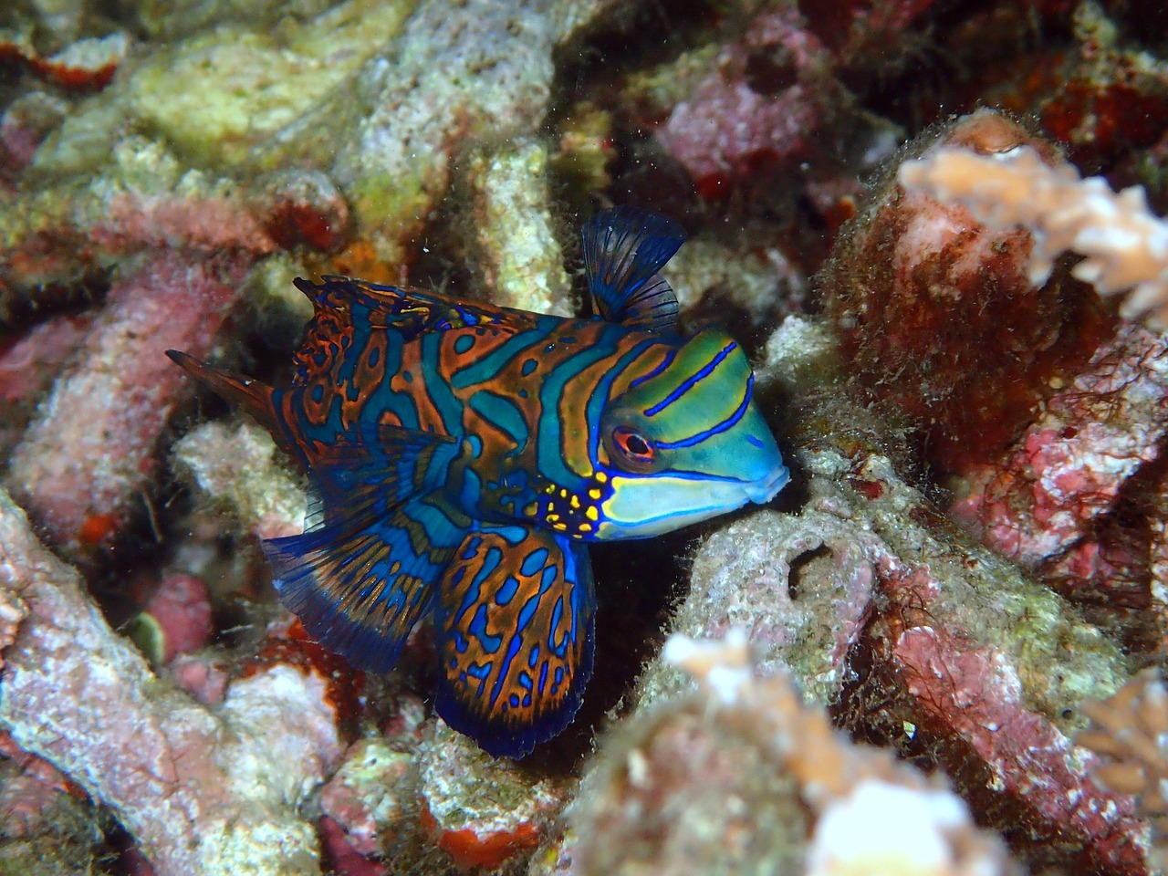 10 Of The Best Dragonet Pictures 1270372463
