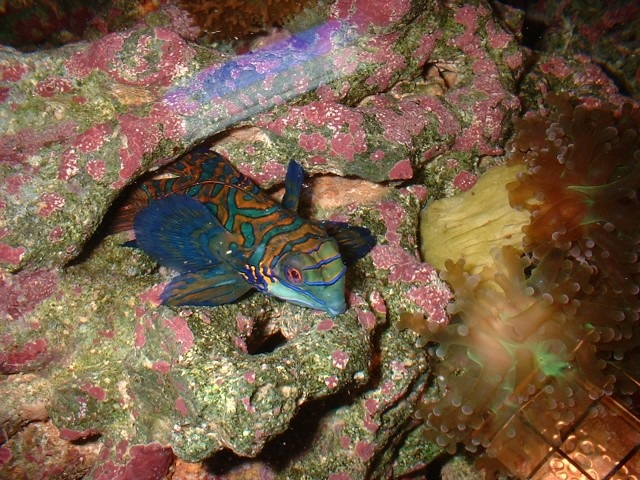10 Of The Best Dragonet Pictures 1793105492