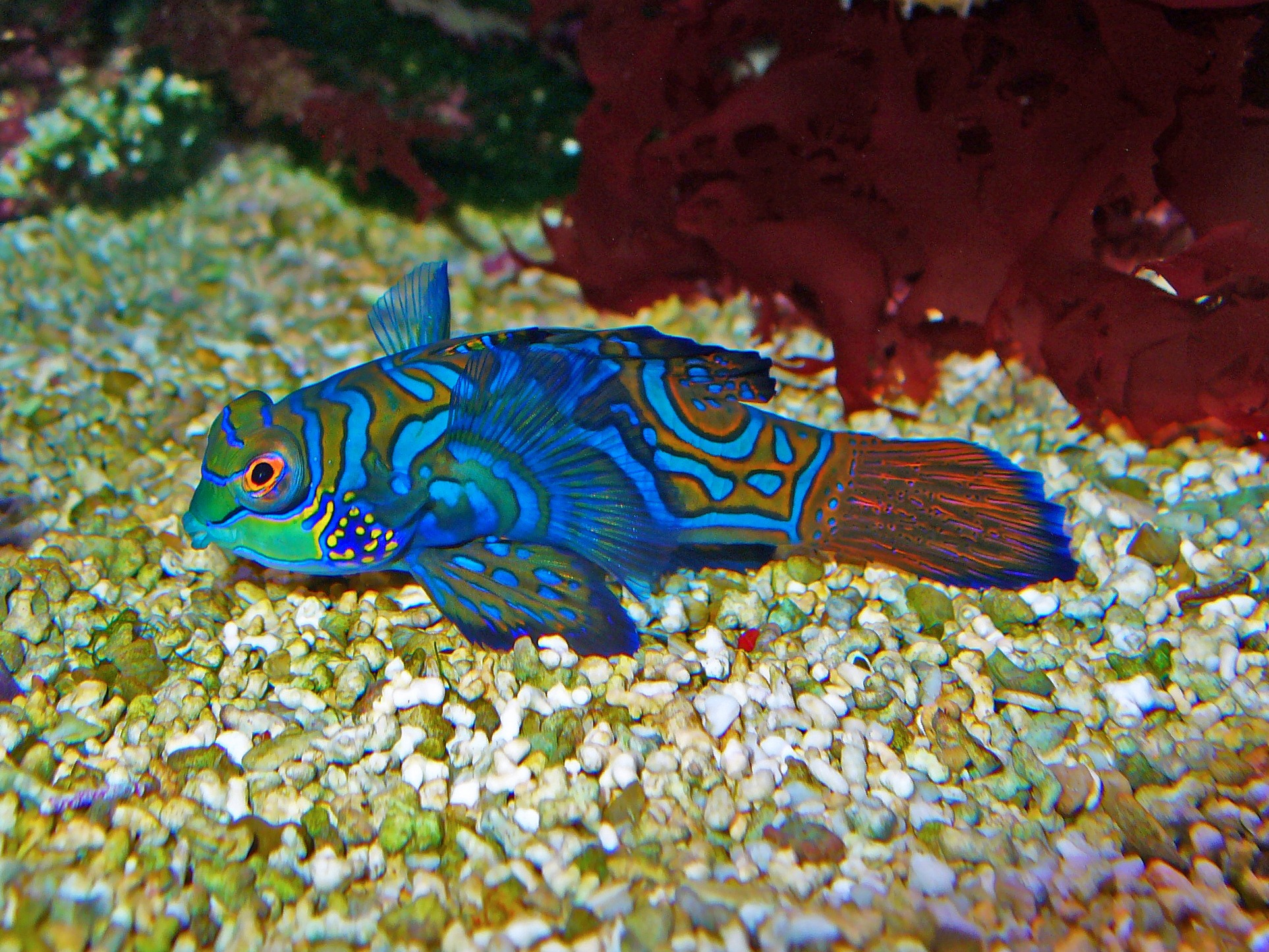 10 Of The Best Dragonet Pictures 20904742