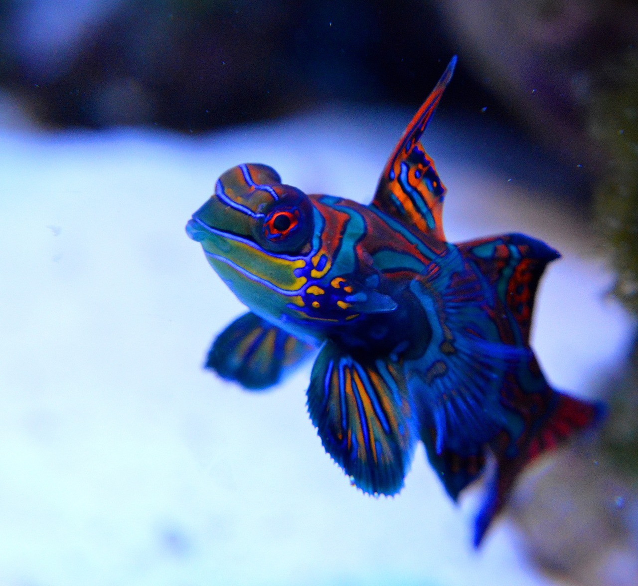 10 Of The Best Dragonet Pictures 798811454