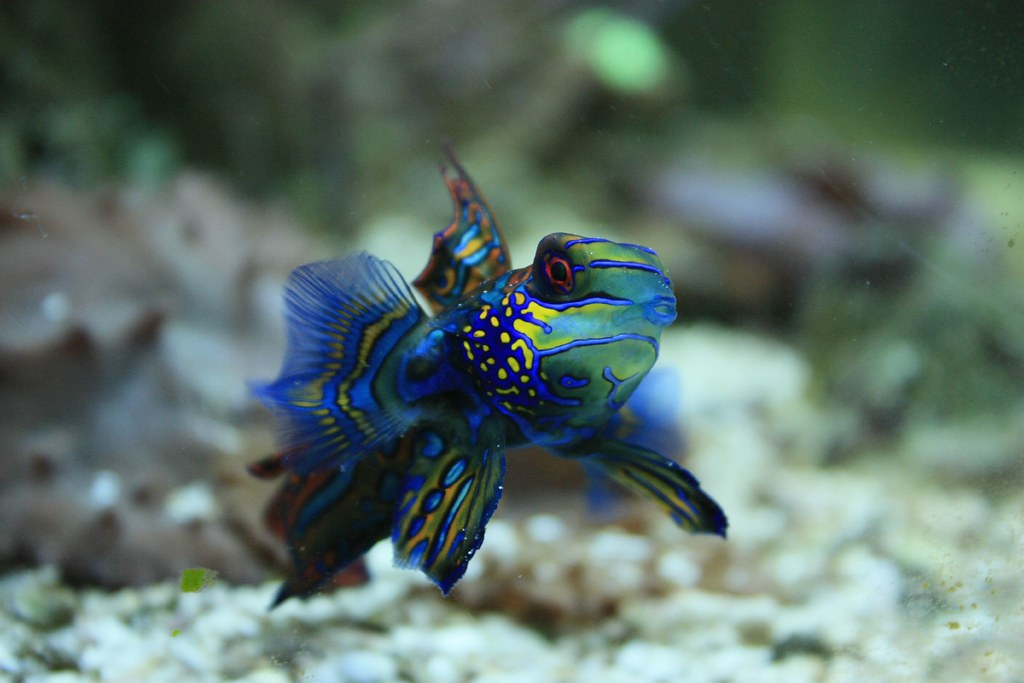 10 Of The Best Dragonet Pictures 1125715440