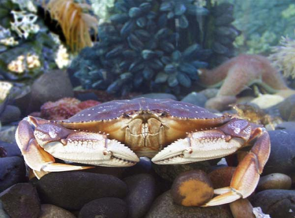 Surprising Facts About Dungeness Crab