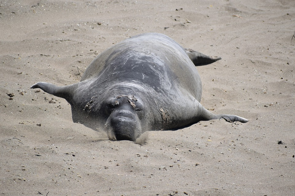 12 Super Cool Elephant Seal Pictures 1755831254