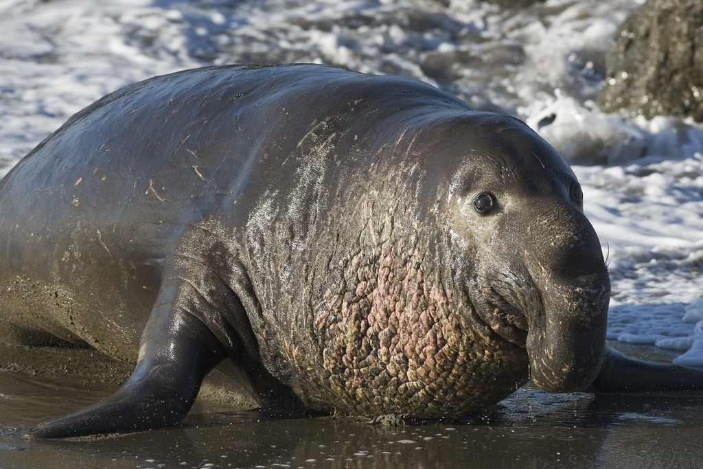 12 Super Cool Elephant Seal Pictures 1056607988