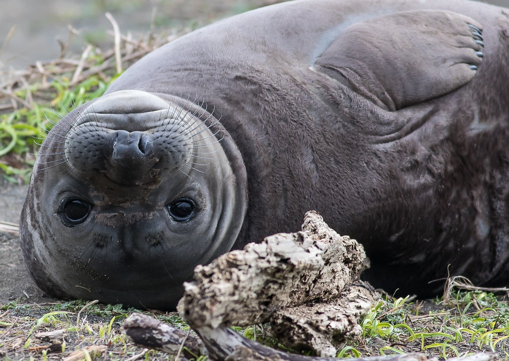 12 Super Cool Elephant Seal Pictures 2136533703