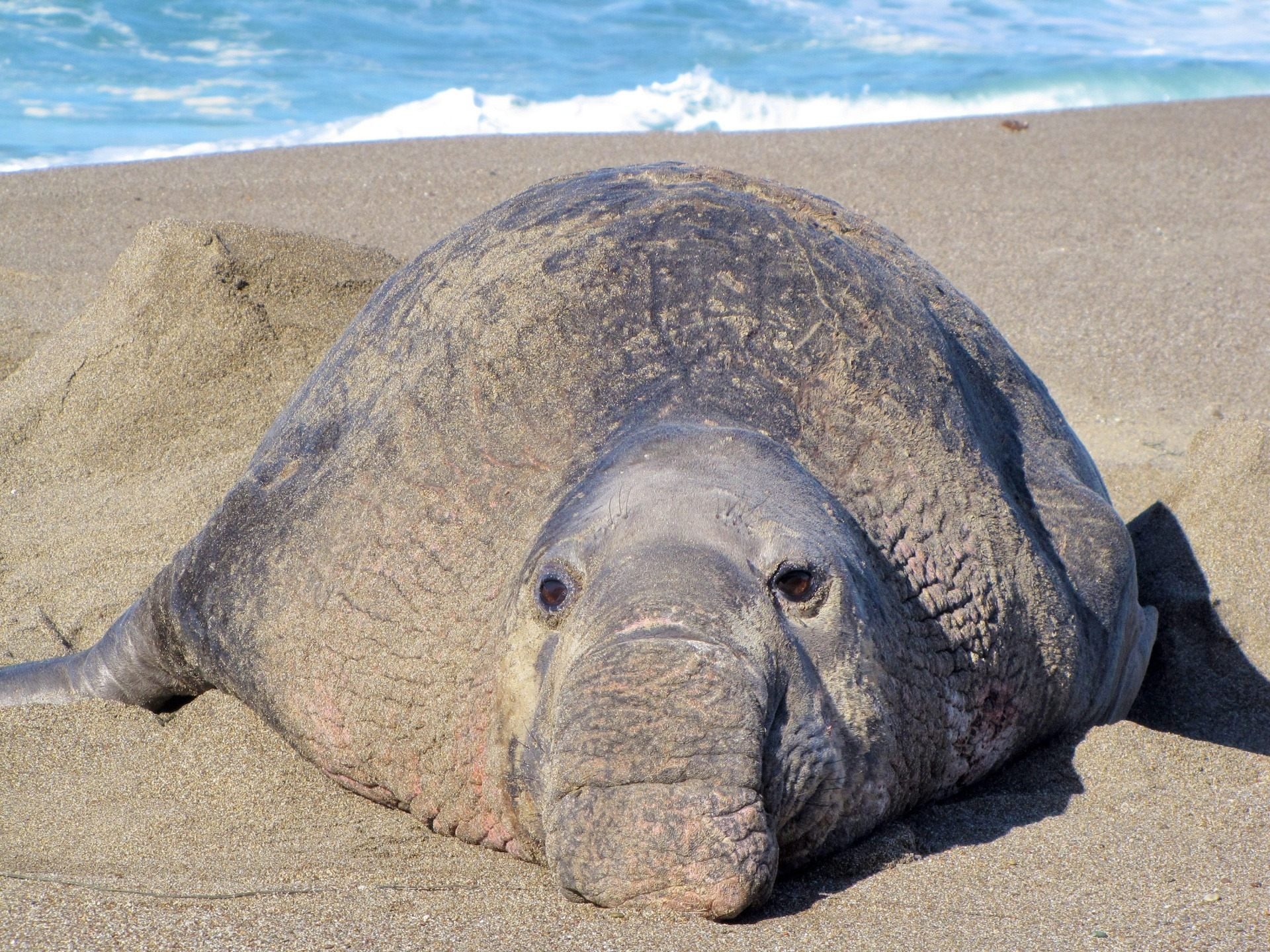 12 Super Cool Elephant Seal Pictures 37970848