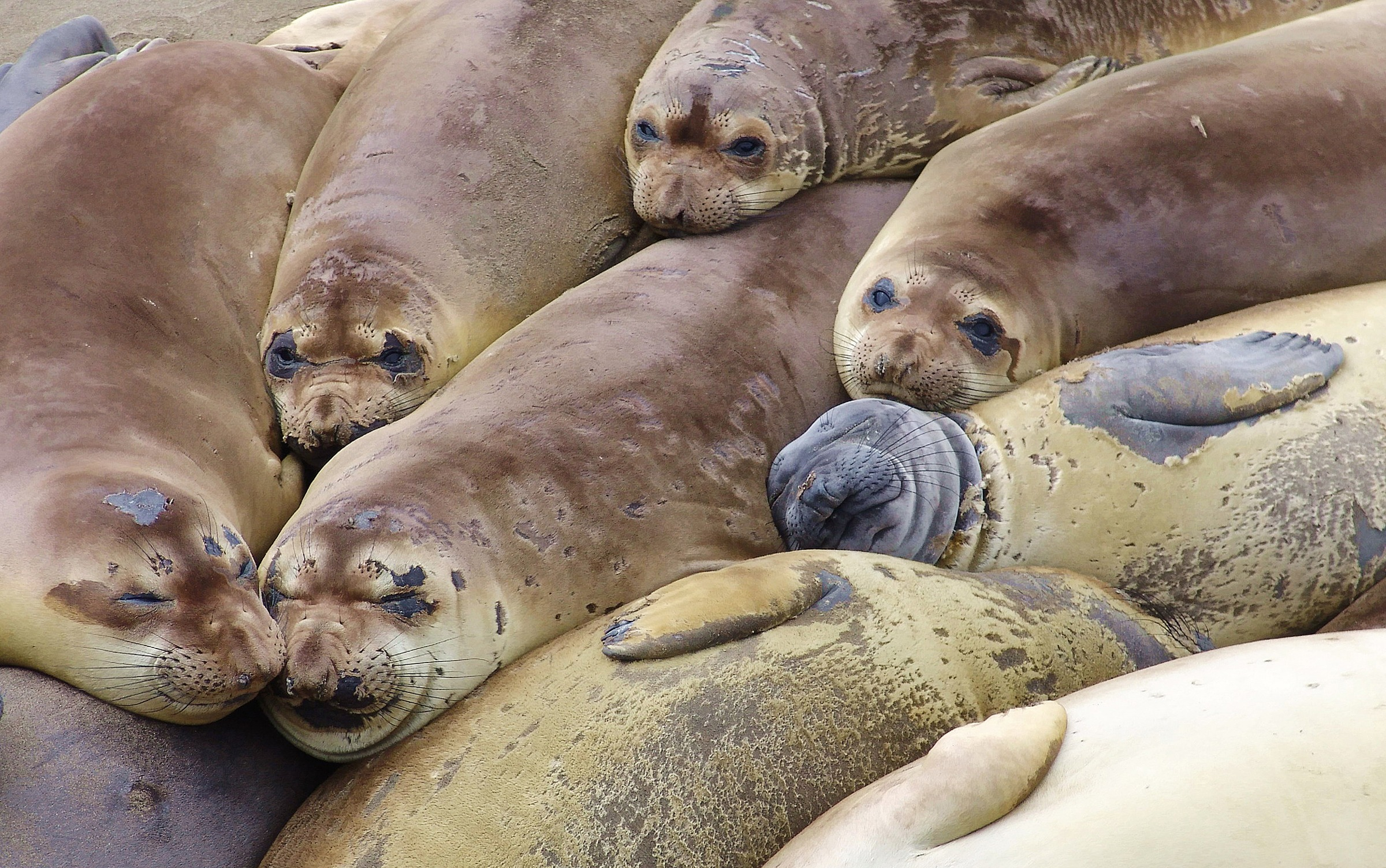 12 Super Cool Elephant Seal Pictures 1752275458