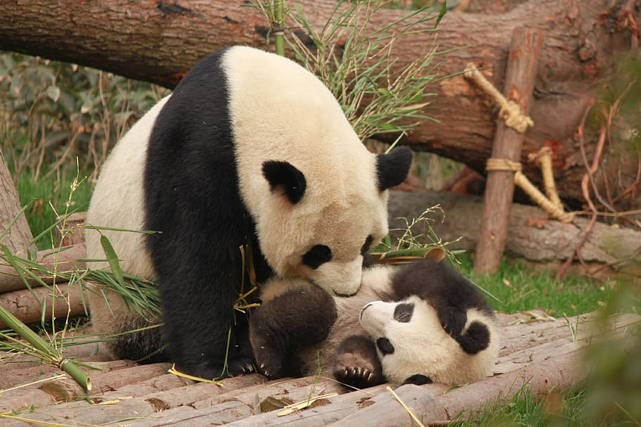 12 Of The Coolest Panda Pictures 2130616061