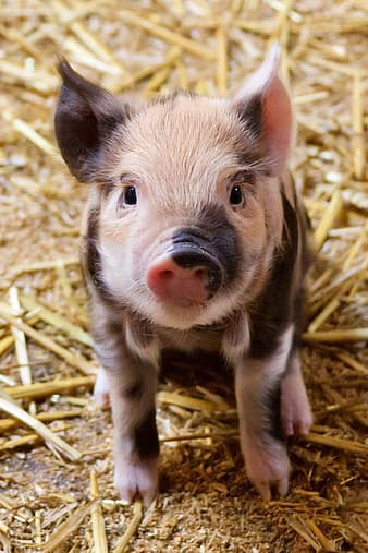 10 Amazing Pictures Of Pigs