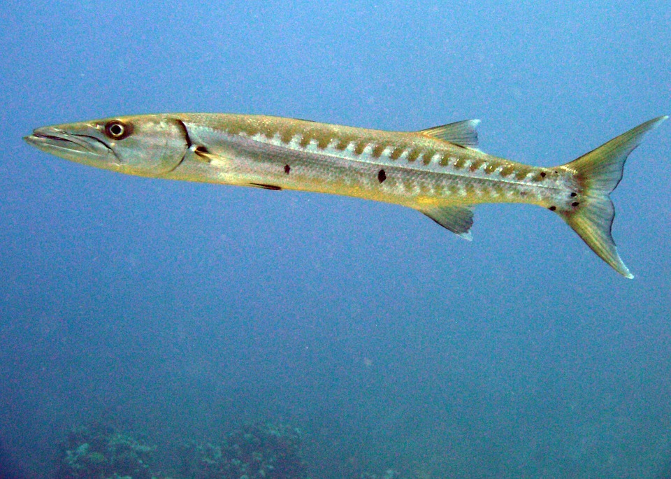 Amazing Facts About Barracuda