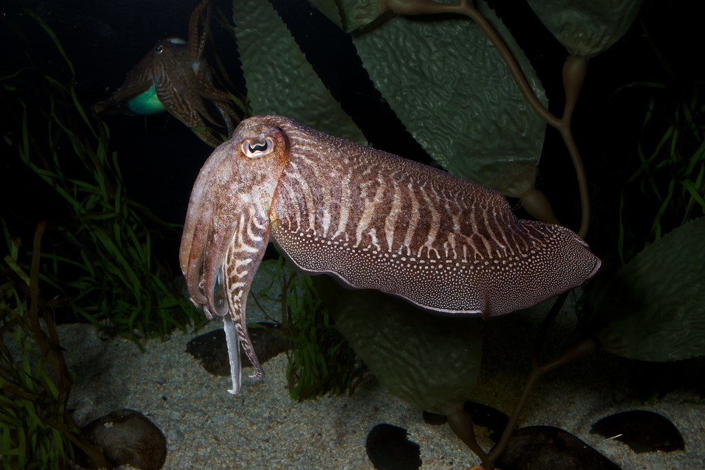 Awesome Facts About Cuttlefish 546665169
