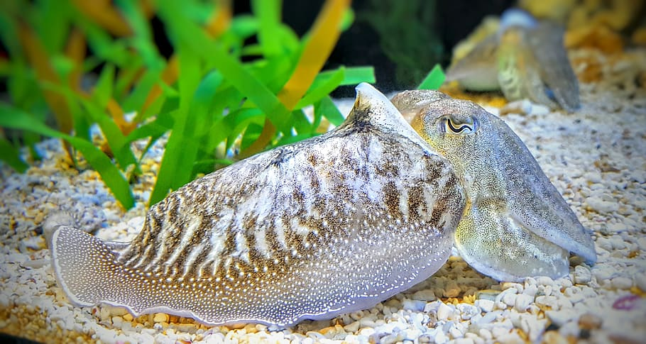 Awesome Facts About Cuttlefish 385463510