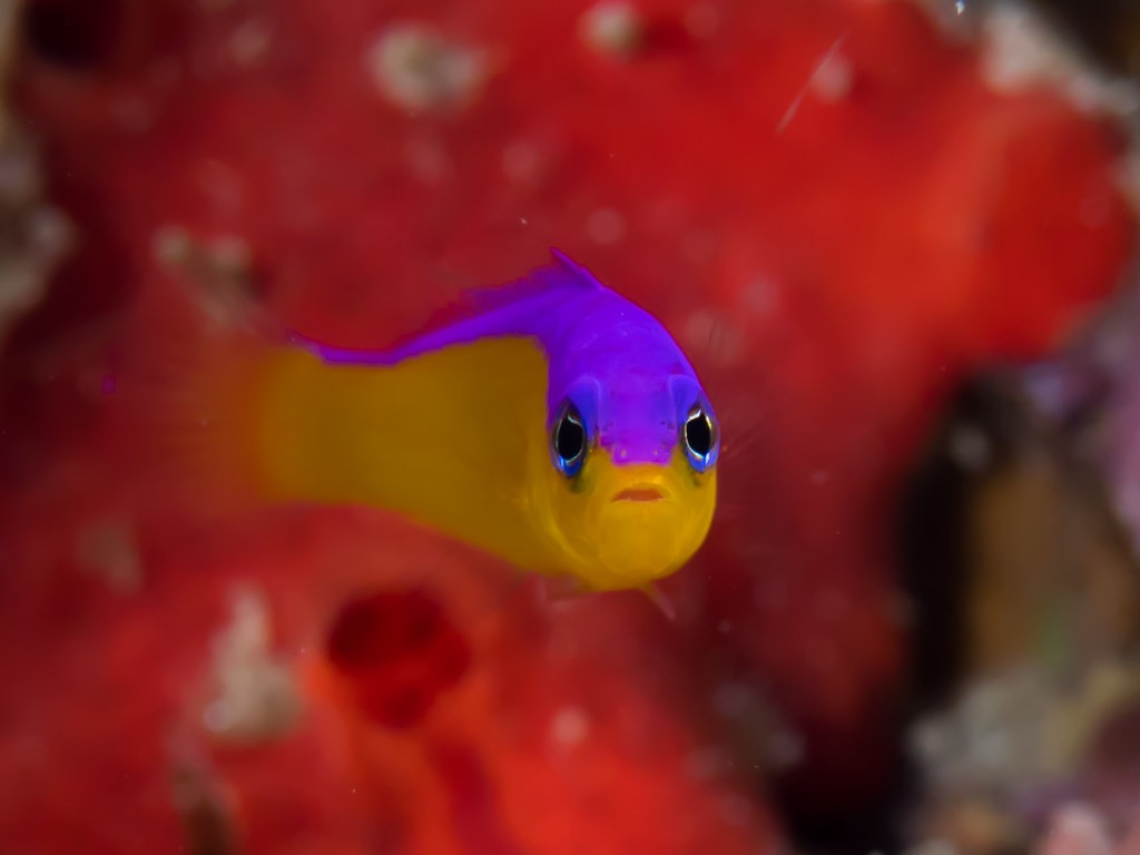 10 Of The Most Beautiful Dottyback Fish Pictures 1731525858