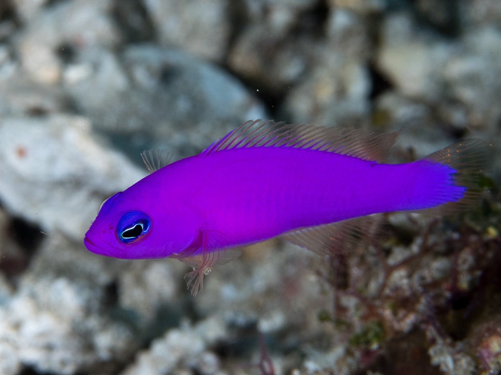 10 Of The Most Beautiful Dottyback Fish Pictures 2036568094