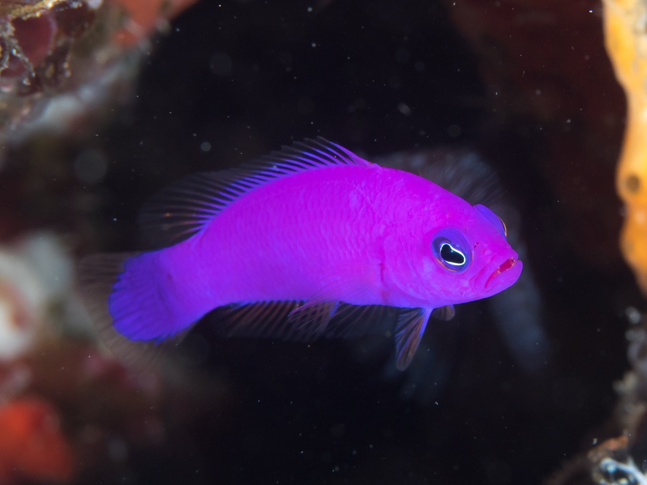 10 Of The Most Beautiful Dottyback Fish Pictures 840301830