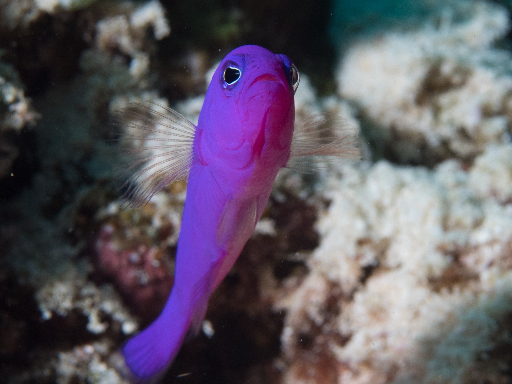 10 Of The Most Beautiful Dottyback Fish Pictures 973253041