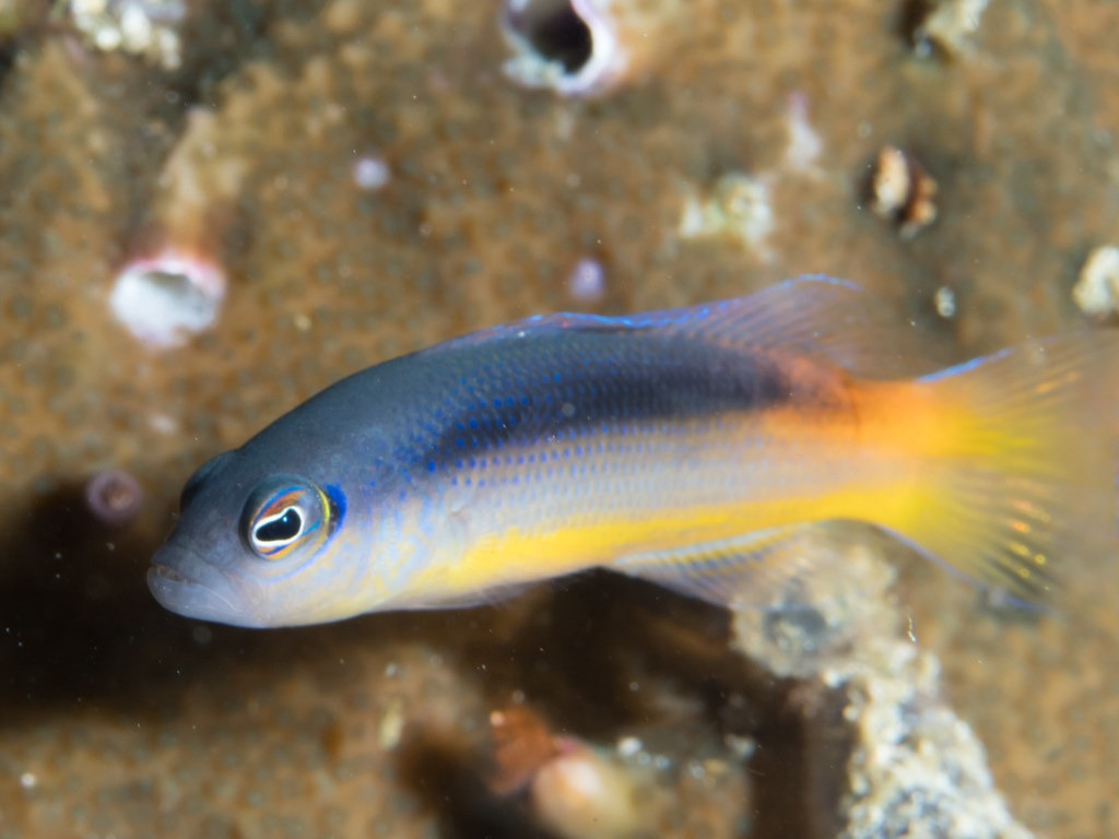 10 Of The Most Beautiful Dottyback Fish Pictures 130753320