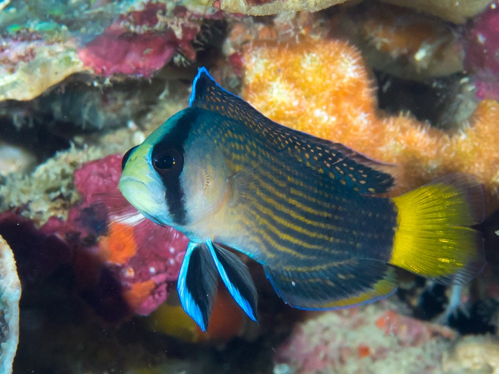 10 Of The Most Beautiful Dottyback Fish Pictures 1179099421