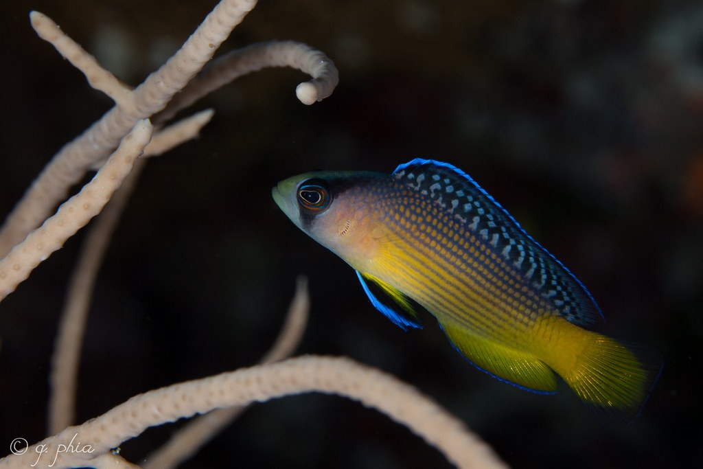 10 Of The Most Beautiful Dottyback Fish Pictures 901666577