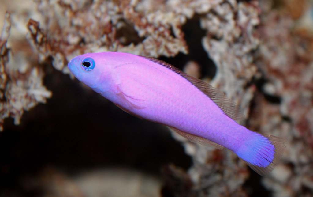 10 Of The Most Beautiful Dottyback Fish Pictures 1158500862