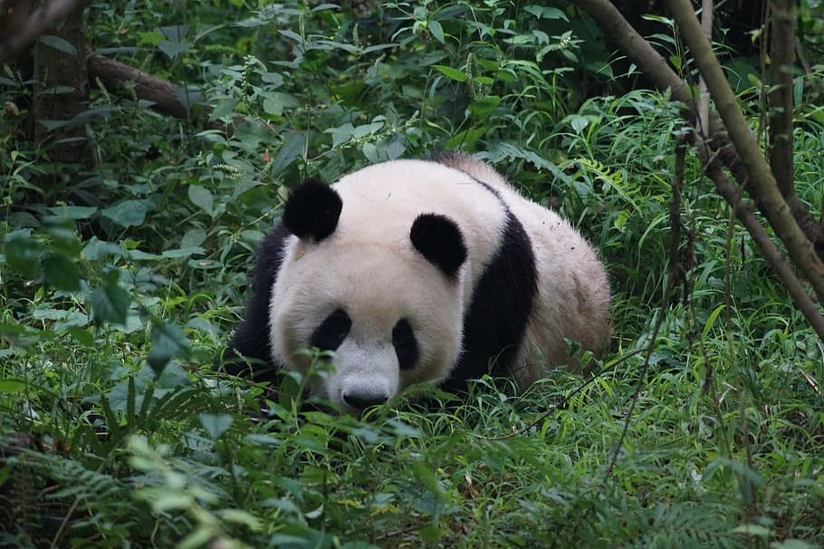 13 Of The Most Interesting Facts About Pandas