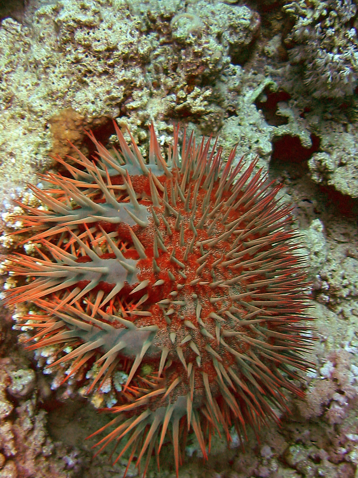 Amazing Facts About Crown-of-thorns Starfish