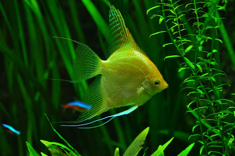 Surprising Facts About Angelfish