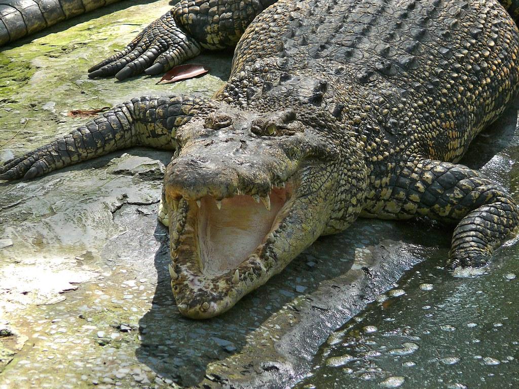 Surprising Facts About Estuarine Crocodiles
