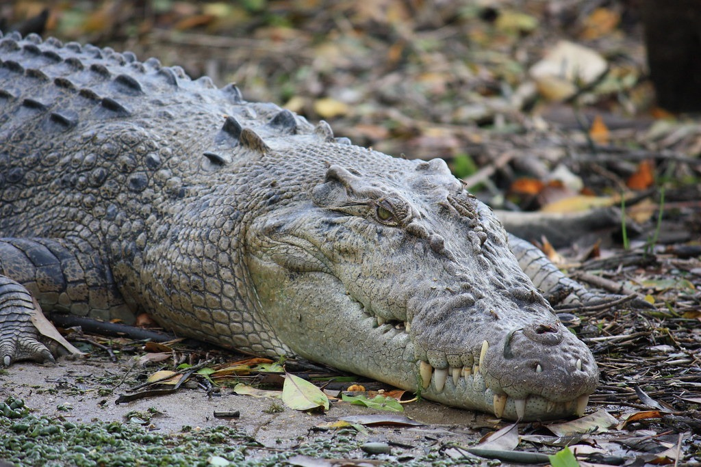 Surprising Facts About Estuarine Crocodiles 2124977648